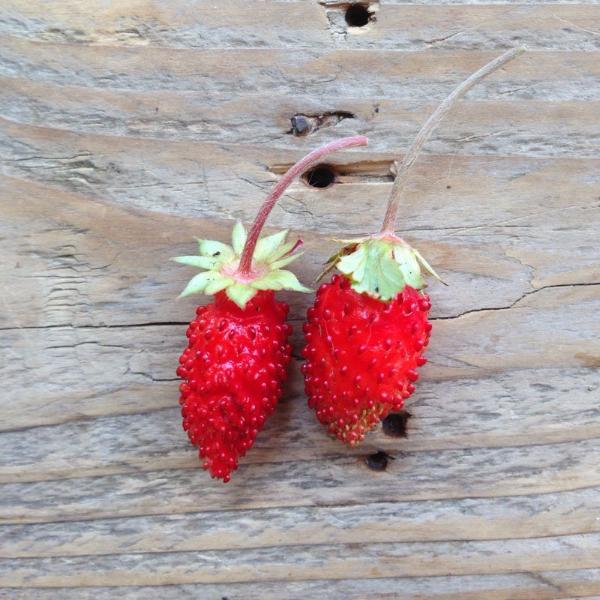 Alpine Strawberry 'Baron von Solemacher'