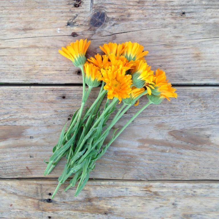 Calendula 'Erfurter Orangefarbige'